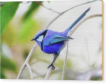 Wood Print featuring the photograph Blue Wren, Margaret River by Dave Catley