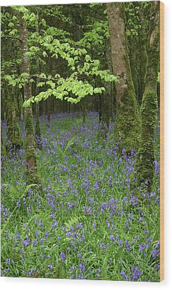 Bluebell Woods Wood Print by Martina Fagan