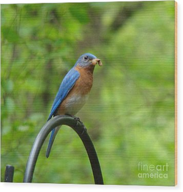 Bluebird Catches Worm Wood Print by Rand Herron