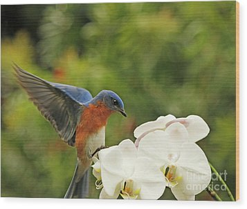 Bluebird Landing On Orchid Wood Print