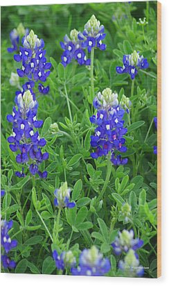 Bluebonnets II Wood Print