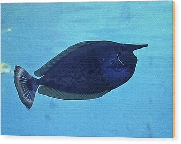 Bluespine Unicorn Fish Wood Print