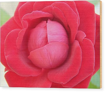 Blush Lettuce Rose Wood Print