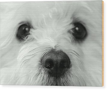 Bobbles The Bichon Wood Print by Tanya Tanski