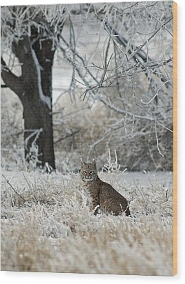 Bobcat And Heavy Frost Wood Print by Gary Langley