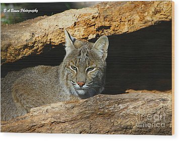 Bobcat Hiding In A Log Wood Print