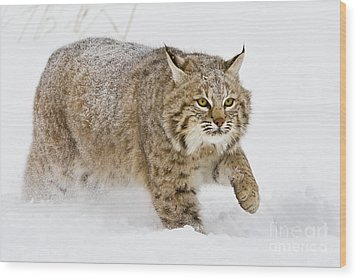 Bobcat In Snow Wood Print by Jerry Fornarotto
