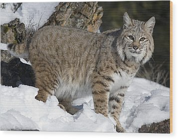 Bobcat Lynx Rufus In The Snow Wood Print by Matthias Breiter
