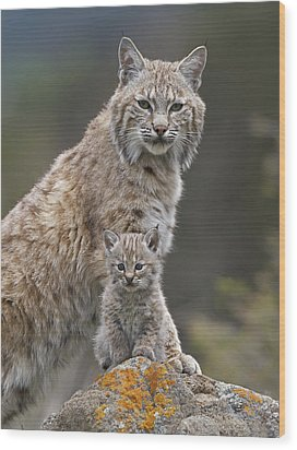Bobcat Mother And Kitten North America Wood Print by Tim Fitzharris