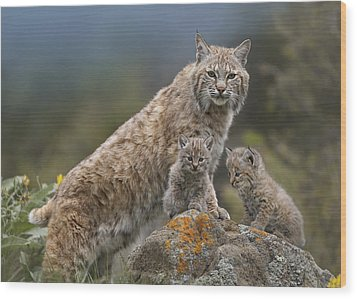 Bobcat Mother And Kittens North America Wood Print by Tim Fitzharris