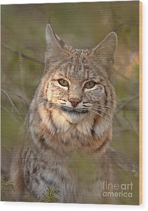 Bobcat Portrait Surrounded By Pine Wood Print