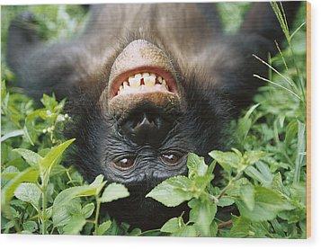 Bonobo Pan Paniscus Smiling Wood Print