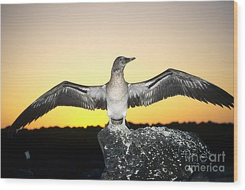 Booby At Sunset Wood Print