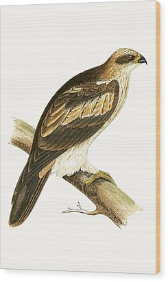 Booted Eagle Wood Print