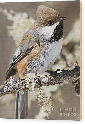 Boreal Chickadee Wood Print by Larry Ricker