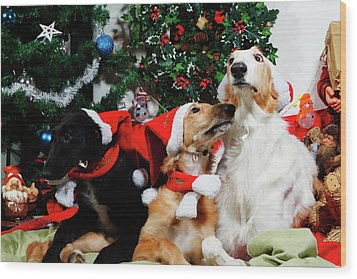 Wood Print featuring the photograph Borzoi Hounds Dressed As Father Christmas by Christian Lagereek