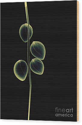 Botanical Study 2 Wood Print by Brian Drake - Printscapes