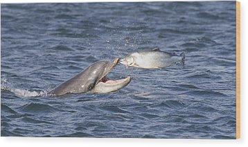 Bottlenose Dolphin Eating Salmon - Scotland  #36 Wood Print