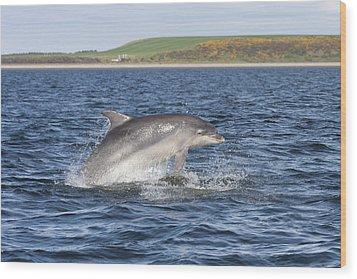 Bottlenose Dolphin - Scotland  #32 Wood Print