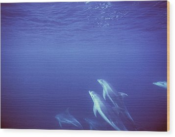 Bottlenose Dolphins Swimming In Open Wood Print by James Forte