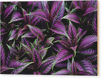 Bouquet Of Persian Shield Wood Print