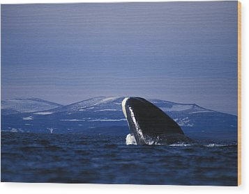 Bowhead Whale Balaena Mysticetus Wood Print by Nick Norman
