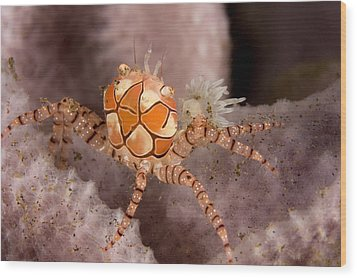 Boxer Crab On Sponge Lybia Tesselata Wood Print by Tim Laman