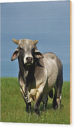 Wood Print featuring the photograph Brahman Boss by Jan Amiss Photography