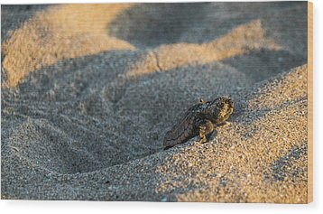 Brave Beginnings Sea Turtle Hatchling Delray Beach Florida Wood Print
