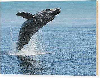 Breaching Humpback Whale Wood Print