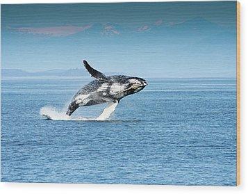 Breaching Humpback Whales Happy-4 Wood Print