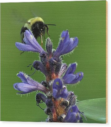 Wood Print featuring the photograph Bumble Bee Breakfast by Glenn Gordon