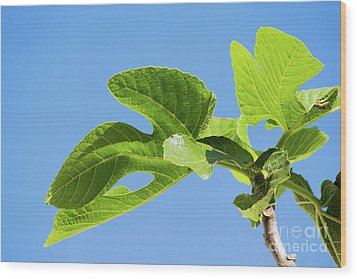 Bright Green Fig Leaf Against The Sky Wood Print by Cesar Padilla