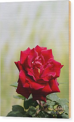 Bright Red Rose Wood Print by Perry Van Munster