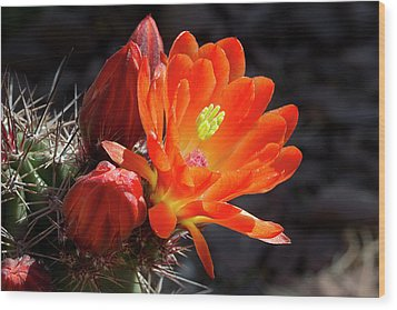 Bright Tangerine Cactus Flower Wood Print by Phyllis Denton