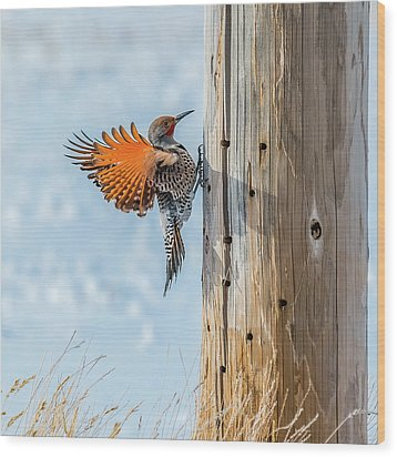 Brilliant Northern Flicker Woodpecker Wood Print