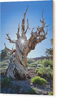 Bristlecone And Sun Wood Print