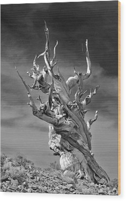 Bristlecone Pine - A Survival Expert Wood Print by Christine Till