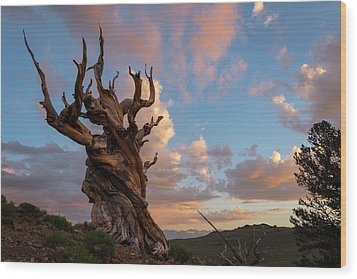 Bristlecone Pine Sunset Wood Print