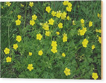 Bristly Buttercup Wood Print by Robyn Stacey