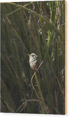 Wood Print featuring the photograph Broad Billed Humming Bird Fem by Daniel Hebard