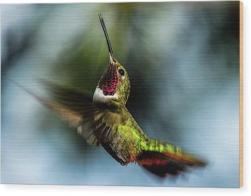Broad-tailed Hummingbird In Flight Wood Print