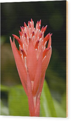 Bromeliad Flower, An Epiphyte From C & Wood Print by Tim Laman