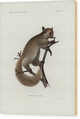 Brown Greater Galago Or Thick-tailed Bushbaby Wood Print by Hugo Troschel and J D L Franz Wagner