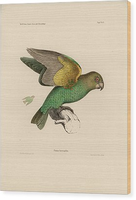 Brown-headed Parrot, Piocephalus Cryptoxanthus Wood Print by J D L Franz Wagner