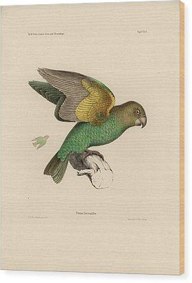 Brown-headed Parrot, Piocephalus Cryptoxanthus Wood Print