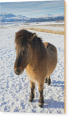 Wood Print featuring the photograph Brown Icelandic Horse In Winter In Iceland by Matthias Hauser