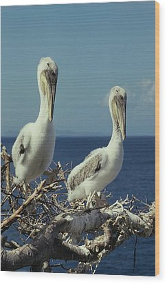 Brown Pelican Chicks In Nest  Wood Print