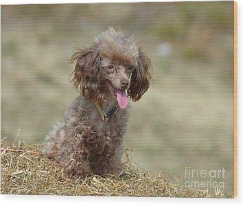 Brown Toy Poodle On Bail Of Hay Wood Print