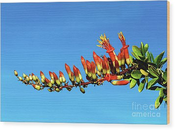 Wood Print featuring the photograph Budding Ocotillo by Robert Bales